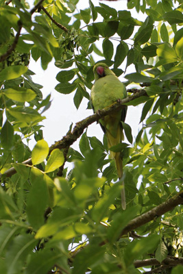 Are parakeets branching out into Keynsham?
