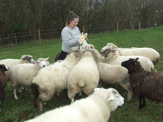 Sheep sanctuary founder searching for new home for 'Smallest Flock'